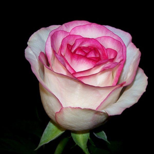 троянди Джамілія